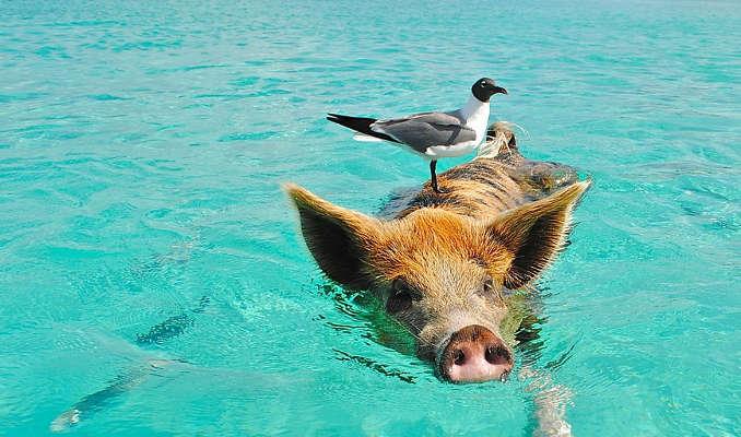 Bahamas Big Major Cay Pig Beach